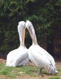 Het paar van pelikanen - onocrotalus Pelecanus Stock Foto