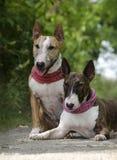 Het paar van stierenterriers Royalty-vrije Stock Foto