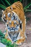 Het paar van tijgers Royalty-vrije Stock Foto's