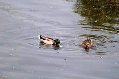 Het paar van watereenden zwemt en geniet van mooi natuurlijk milieu/Paar wilde eenden en vogels in liefde Royalty-vrije Stock Afbeelding