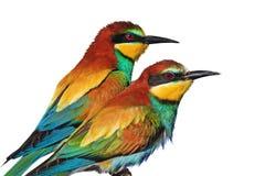 Het paar van wilde exotische vogels is geïsoleerd op wit Stock Afbeelding