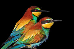 het paar van wilde exotische vogels is geïsoleerd op zwarte Stock Foto's