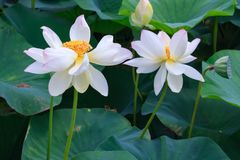 Het paar van witte tot bloei komende lotusbloembloemen op groene bladerenachtergrond bekijkt dicht omhoog royalty-vrije stock afbeeldingen