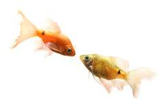 Het paar vissen Stock Foto's