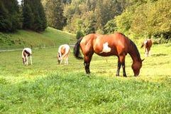 Het paard Stock Foto's