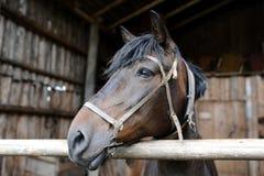 Het paard dat op het landbouwbedrijf leeft Juli 2015 royalty-vrije stock fotografie
