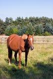 Het paard dat van de kastanje zich op een gebied bevindt stock foto