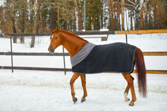 Het paard in de deken Stock Fotografie