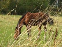 Het paard die achter het lange gras weiden Stock Foto's