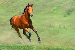 Het paard die van de baai op het gebied lopen Stock Foto's