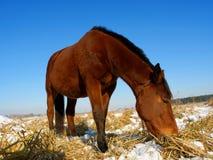 Het paard eet gras op gebied Stock Fotografie