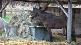 Het paard eet hooi in een box stock video
