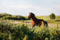 Het paard galoppeert op het gebied onder het gras in de zomer Royalty-vrije Stock Afbeeldingen
