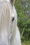 Het Paard Half Gezicht van het Percheronontwerp Royalty-vrije Stock Fotografie
