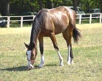 Het paard in het weiland stock fotografie