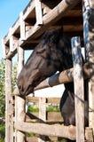 Het paard kijkt uit de schuur. Stock Afbeeldingen