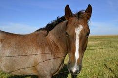 Het paard leunt over een prikkeldraadomheining stock afbeeldingen