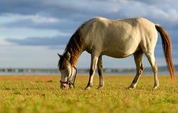 Het paard is in natuurlijk vers groen gras Stock Fotografie