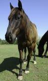 Het paard stelt Royalty-vrije Stock Afbeeldingen