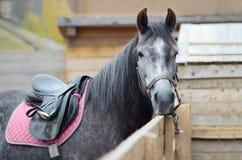Het paard is uitgerust en gebonden voor het berijden aan een houten omheining Het close-up, u kan slechts het hoofd en het lichaa royalty-vrije stock afbeelding