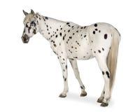 Het paard van Appaloosa Stock Afbeeldingen