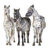Het paard van Appaloosa royalty-vrije stock afbeeldingen