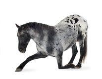 Het paard van Appaloosa Stock Foto's