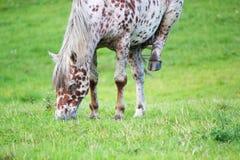Het paard van Appaloosa het eten Stock Afbeeldingen
