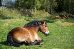 Het paard van Ardennen het rusten stock afbeeldingen