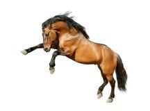Het paard van baailusitano op wit wordt geïsoleerd dat royalty-vrije stock foto's