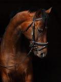 Het Paard van baaitrakehner Royalty-vrije Stock Foto