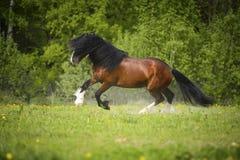 Het paard van baaivladimir heavy draft het spelen op de weide Royalty-vrije Stock Afbeeldingen