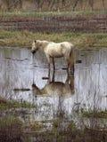 Het paard van Camargue stock fotografie