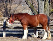 Het paard van Clydesdale Stock Afbeeldingen