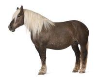 Het paard van Comtois, een ontwerppaard, caballus Equus Stock Afbeeldingen