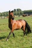 Het paard van de baai Stock Afbeeldingen
