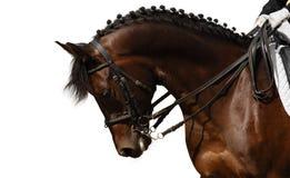 Het paard van de baai Stock Afbeelding