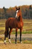 Het paard van de baai in de herfst Royalty-vrije Stock Foto