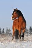 Het paard van de baai in de winter Stock Fotografie