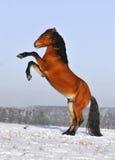 Het paard van de baai in de winter Stock Foto's