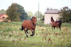 Het paard van de baai galopperen vrij bij het weiland Royalty-vrije Stock Foto