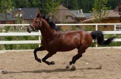 Het paard van de baai het verbazende hengst lopen Royalty-vrije Stock Foto's