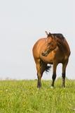Het paard van de baai op het gebied. Royalty-vrije Stock Afbeeldingen