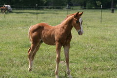 Het Paard van de baby Stock Afbeeldingen