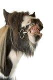 Het paard van de blikslager Stock Foto