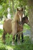 Het Paard van de blonde Stock Afbeelding