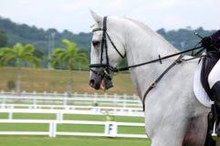 Het Paard van de dressuur Royalty-vrije Stock Fotografie