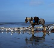 Het paard van de garnalenvisser in Vlaanderen, België royalty-vrije stock foto's