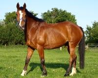 Het Paard van de kastanje Stock Foto's
