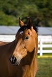 Het paard van de kastanje Royalty-vrije Stock Afbeelding